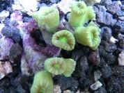 Caulastrea furcata Candycane fluro green 6 cm
