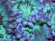 Catalaphllia jardenei Elegance Coral 10cm