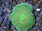Acanthophyllia deshayesiana Pin Cushion 7 cm