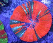 Scolymia sp. Scolymia PL0044