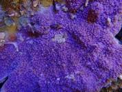Millepora sp. BA0014