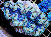 Maxima Clam Colored 15 CM CL005