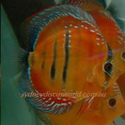 Wild red Jaraqui royal 13 cm F1