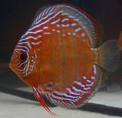 Barra Mansa Wild red 13 cm F1