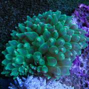 Anemone Bubbletip Green 12cm