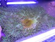 Anemone - Magnifica Ocellaris  45 CM