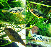 Puffer Fish (Freshwater)10cm