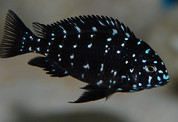 Tropheus Duboisi 5cm