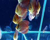 Super Eruption Discus 8-9cm