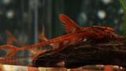 Red Whiptail Catfish 12 cm
