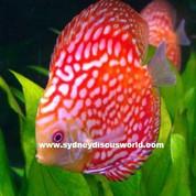 Rafflesia 8 cm