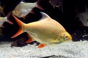 Tinfoil Barb Factoids Albino 12cm