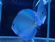 Blue Diamond Discus 15-16 cm Pair