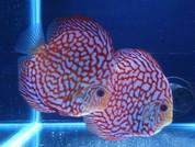 Rafflesia Discus 14-15cm Pair