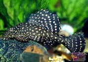 GOLD SPOTTED PLECOSTOMUS 8 cm L 1