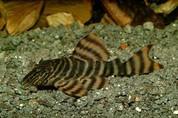 Tiger peckoltia L002 - 6cm