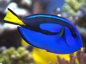 Blue Tang (Paracanthurus hepatus)