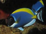 Powder Blue Tang (Acanthurus leucosternon)