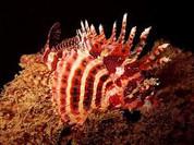 Fuzzy Dwarf Lionfish (Dendrochirus brachypterus)