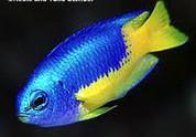 Blue & Gold Damselfish (Pomacentrus coelestis)5cm