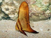 Orbiculate Batfish (Platax orbicularis)