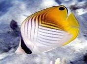 Auriga Butterflyfish (Chaetodon auriga)