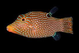 Apr 14, · The Blue Dot Puffer prefers a tank of at least 50 gallons with plenty of places to hide & swim. The Canthigaster epilamprus is a omnivore and likes to eat variety of chopped meats (fish, scallop, shrimp, squid, clam).