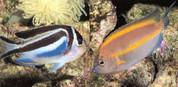 Bellus Angelfish (Genicanthus bellus)