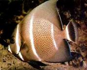 Gray (Black) Angelfish (Pomacanthus arcuatus)