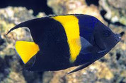 Asfur Angelfish (Pomacanthus asfur)