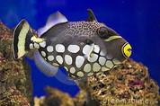 Clown Triggerfish (Balistoides conspicillum)
