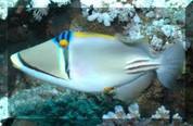 Assasi Triggerfish (Rhinecanthus assasi)