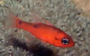 Flame Cardinal (Apogon spp.)