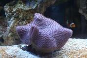 Sarcophyton coral/Toadstool 10CM
