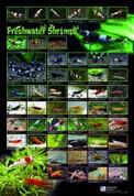 Freshwater Shrimp Poster