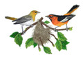 Bullock's Orioles and Nest