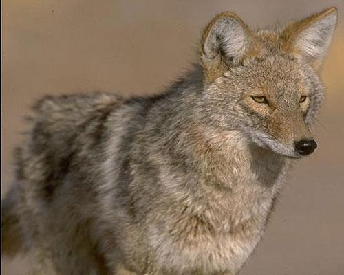 coyotecloseup-lg.jpg
