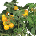 AeroGarden Golden Harvest Cherry Tomato Seed Kit