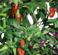 AeroGarden Chili Pepper Seed Kit