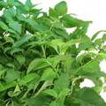 AeroGarden Fresh Tea Seed Kit