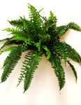 Estate Boston Fern, with 40 Leaves and Tendrils