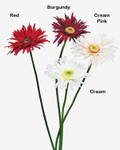 Garden Gerbera Daisy, Single