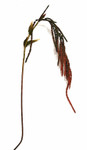 Hanging Amaranthus Spray, Single with Leaves