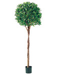 5-Foot Tall Bay Leaf Topiary - Potted in PVC Container