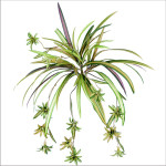 Spider Plant with 48 Leaves