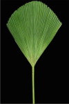Palmetto Palm Leaf