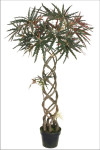 4-Foot Braided False Aralia Tree in Pot