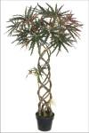 4-Foot Braided False Aralia Tree in Pot