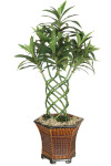3-Foot Braided Dracaena in PVC Pot