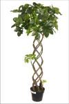4-Foot Braided Scheffelera Tree in PVC Pot